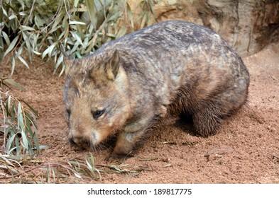 Wombat, quadrupedal marsupials, native to Australia walks in its natural habitat. Full length