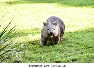 Wombat running around on the grass