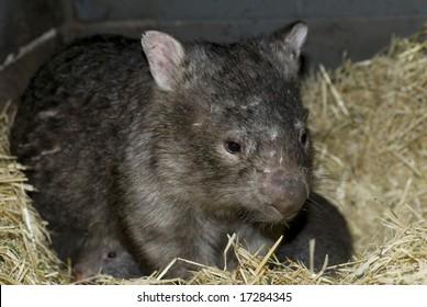 Wombat sitting in nest