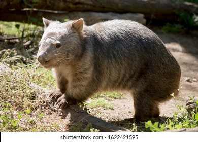 the wombat is walking around the paddock