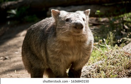 the wombat is walking around the paddock