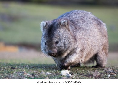 Wombat walking on grassland. Front view with eyes and claws visible.
