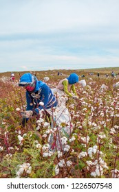 Women collecting cotton in a cotton field in Adana, Turkey. They are both bending and picking the cotton flowers.