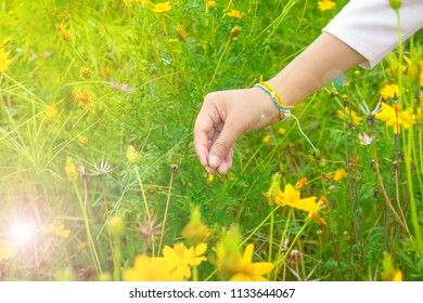 Women are collecting Sulfur Cosmos at the garden