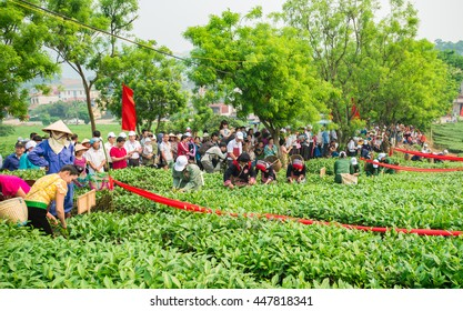 women and women from ethnic minorities were picking tea leaves  in Tea competitions of  Moc Chau Highlands in April 16, 2016. This is the first harvest season with early tea leaves of spring.