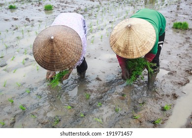 Women farmer growing rice under rain on the paddy rice farmland. Mekong river Delta, Vietnam.