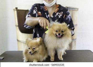 Women grooming Pomeranian dog