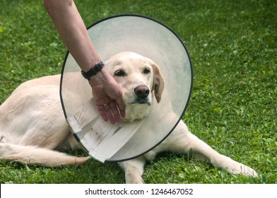 Women hand and female cream Labrador dog wearing Elizabethan plastic cone medical collar around neck for anti-bite wound protection on green grass meadow