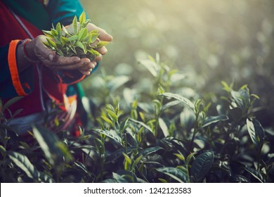 Women Hand finger picking up tea leaves at a tea plantation for product , Natural selected , Fresh tea leaves in tea farm in Chiang mai, Thailand.