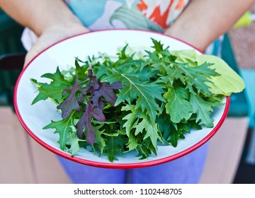 Women hand holding bowl of freshly picked green salad leaf mizuna, rocket, mustard green. Salad greens