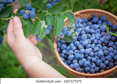 Women hands picking ripe blueberries close up shoot with bowl, full of berries. Blueberry - branches of fresh berries in the garden. Harvesting concept.