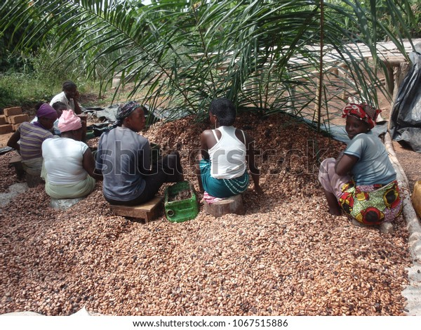 Women from ivory coast working in the countryside for cocoa production. December, 10, 2013. The workers are extracting and washing cocoa beans in order to dry them. Rural scene of agriculture.