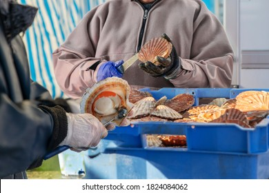 Women open and clean scallops for sale at the Fair of Herring and scallop shell.