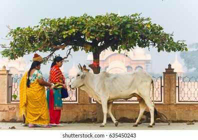 Women pilgrims feed the cow. Kusum Sarovar Govardhan Mandir .India, Govardhan, November 2016