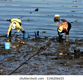 women shellfishers, seafood seekers, collecting seafood, in the Ferrol estuary, A Coruña, Galicia, Spain, Europe, in search of clams, cockles in the mud. hard work, miserable, exhausting,