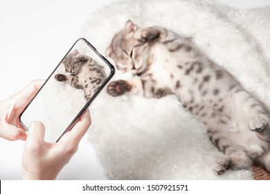 Women taking photo to Cat with cell telephone or smartphone digital camera for Post to show Online on the Internet . Little scottish fold Cat cute ginger kitten  pet on Social Network .