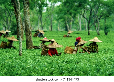 WOMEN TEA PICKERS, GOLAGHAT, ASSAM, INDIA - APRIL 18, 2007 : Assam Tea Garden grown in lowland and Brahmaputra River Valley.