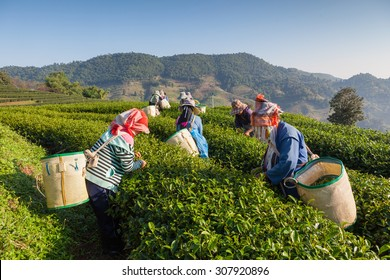 Women from Thailand breaks tea leaves on tea plantation