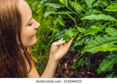 Women tourist at a tea plantation. Natural selected, Fresh tea leaves in tea farm in Cameron Highlands, Malaysia. Ecotourism concept.