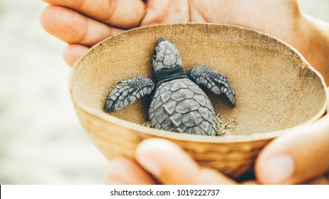 women with wooden bowl in hands take newborn turtles on handbrede, close up hands with turtles ,turtle  sanctuary hatchery located on the beach