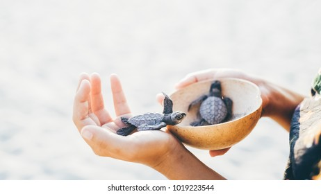 women with wooden bowl in hands take newborn turtles on handbrede, ,turtle  sanctuary hatchery located on the beach