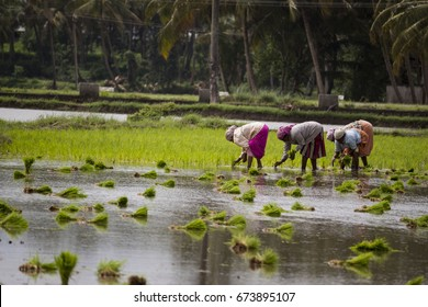 Women Working in Paddy fields. Photo from Palakkad, Kerala, India