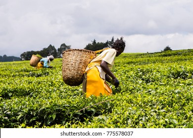 Women with woven wicker baskets on their backs, hand picking or harvesting tea leaves. Tea is grown and picked in hot moist climates, with good rainfall, well above sea level and across the world.