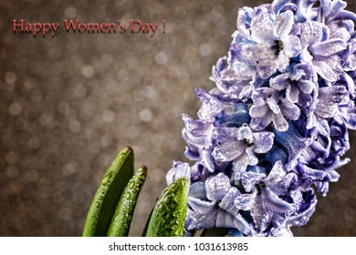 Women's Day, March 8. Hyacinth in dew drops on a gray background. Card.