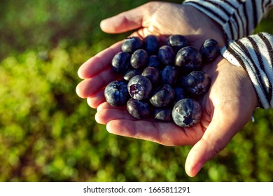 women's hands with blueberries on a background of garden grass