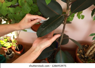 Women's hands clean dust from the leaves of a houseplant Ficus Robusta with a wet cotton pad. Closeup.