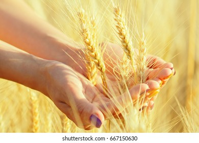 Women's hands gathered ripe ears of wheat or barley in a handful in the field