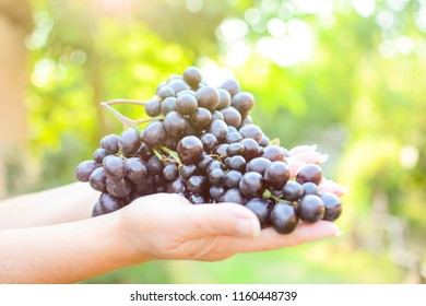 women's hands hold fresh black grapes in the courtyard before sunset. Blurred background with green color of the trees and yellow, red sun rays.