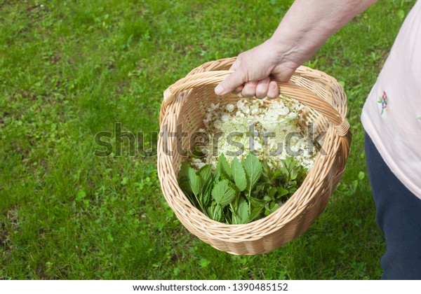 A women's hands holding a basket with different herbs in it: elderberry blossom - Sambucus, acacia blossom, leaves of mentha and leaves of lemon balm - Melissa officinalis