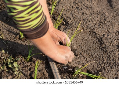 Women's hands plant seedlings in the open ground, agricultural work
