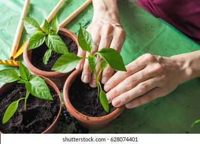 Women's hands are transplanted the young plants in the spring.