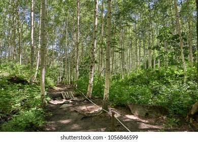 Wondae-ri birch forest in Inje-gun, Korea. The forest is a famous attraction for walking trail and used as children's forest experience center.