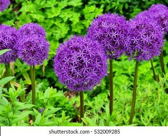 wonderful allium giganteum