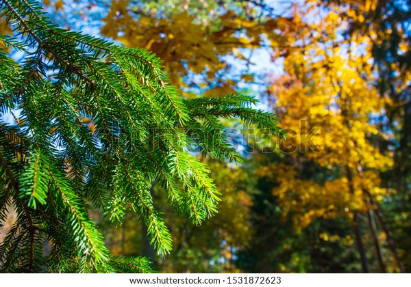 Wonderful autumn landscape with evergreen pine tree branch and beautiful yellow colored birch tree