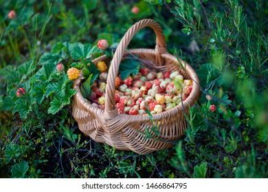 A wonderful basket full of cloudberries (Rubus chamaemorus). Season: Summer. Location: Western Siberian taiga.
