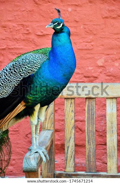 a wonderful blue peacock in a park