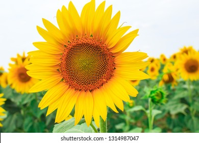 Wonderful bright yellow sunflower on the field of blooming sunflowers