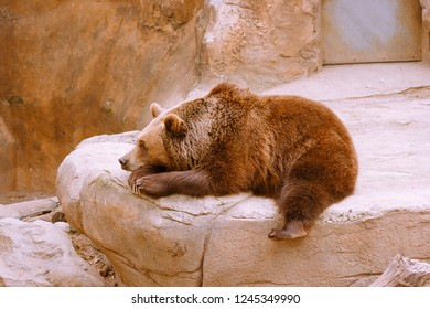 Wonderful brown bear lying on artificial rock and relaxing in enclosure in modern zoo
