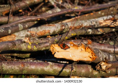 Wonderful butterfly (large tortoiseshell) sitting on a wood stack
