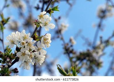 wonderful cherry blossoms