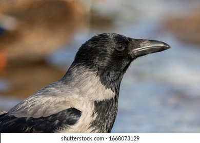 Wonderful close up portrait of a hooded crow bird.