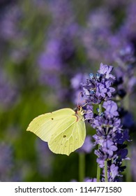 Wonderful colors in the garden when the brimstone butterfly (Gonepteryx rhamni) suck nectar from the Lavender (Lavandula angustifolia), Uppland, Sweden