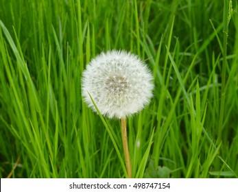 wonderful dandelion mature
