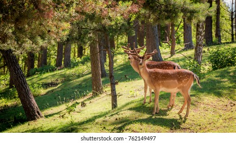 Wonderful deers in forest at dawn, Poland, Europe
