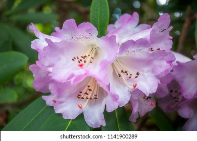 Wonderful delicate rhododendron flowers on a dappled bokeh background at Mount Tomah Botanic Garden in the Blue Mountains, New South Wales, Australia.