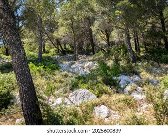 Wonderful, dense pine forest at the Murter island, Croatia creating lovely shade during hot, summer day